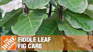 potted indoor fiddle leaf fig plant