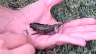 Hummingbird Saved from Gum | Don't Spit Out Your Gum
