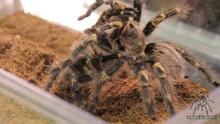 Tarantula Mating: Grammostola pulchripes (Chaco Golden Knee): Spiders-N-Inverts #29