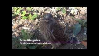 Resgate de falcão que caiu da floreira