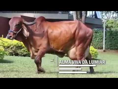 Gir (गीर) cow in brazil