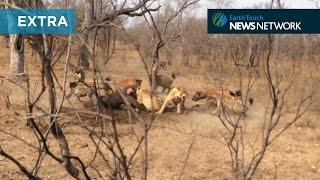 Watch hyenas battle with lions over a buffalo carcass: