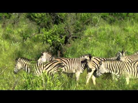 Permesco – South Africa – Kruger N.P. – Zebra & Impala
