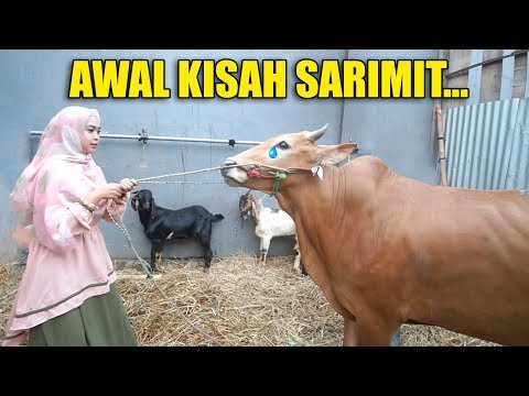 Download Video HUNTING HEWAN QURBAN, KISAH SARIMIT BIKIN SAYANG.