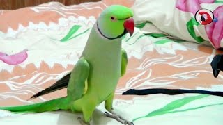 Sammy-The talking Indian Ring-neck parrot