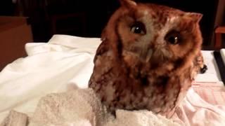 "Screech Owl ""Baby Hoot"""