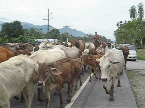 Motorcycling Through Central America…………………………………….Cattle Drive
