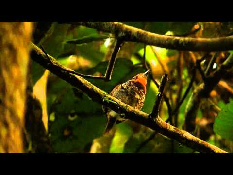 Spotted Puffbird in the Canopy of the Yasuni