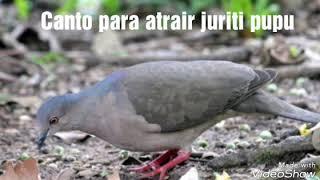 Som para atrair juriti pupu gravado na natureza
