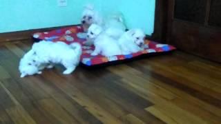 Cachorros de bichon maltés