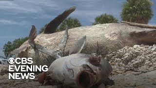 Red tide hurting Florida's stone crab harvest