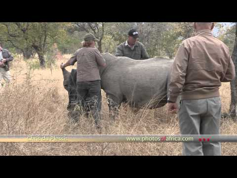 Rhino De-horning, Hoedspruit HD – South Africa Travel Channel 24 – Wildlife
