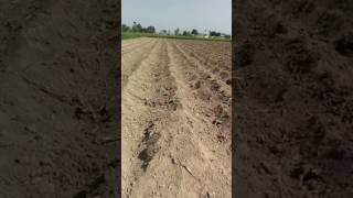 Sugarcane modified pit plantation after  cover the pits