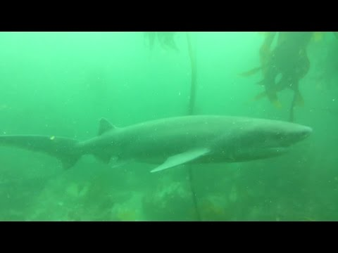 Diving with Seven Gill Cow Sharks at Millers Point [HD]