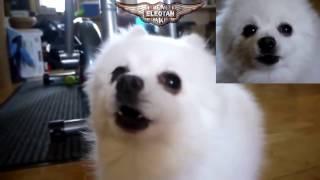 cachorro cantando olha o gas