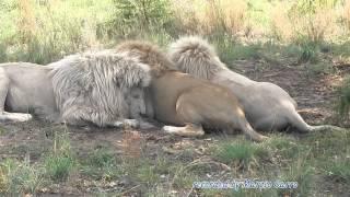Leoni bianchi mangiano - White Lions eating