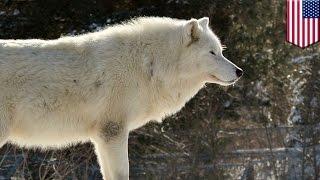 Hadiah $10.000 ditawarkan bagi yang menemukan pembunuh serigala putih langka - Tomonews