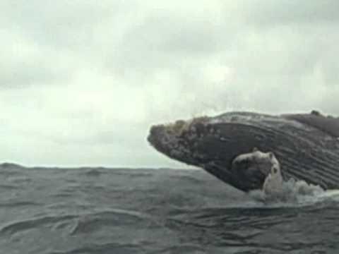 Isla de la Plata, Ecuador – Whale breaching