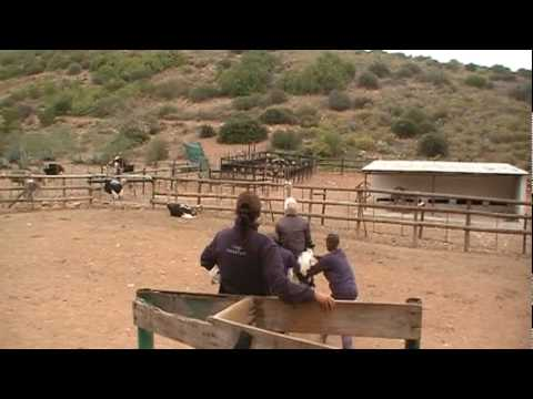 Outshoorn – Ostrich Riding, Neck Massage, Walking on Eggs