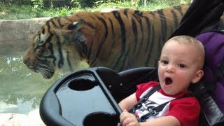Baby Lets Tiger Walk Right On By!
