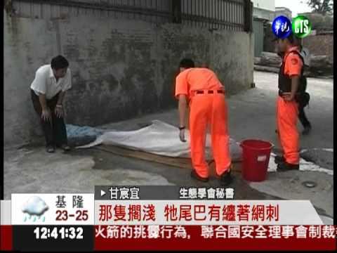 流刺網非法捕魚 恐害白海豚絕種! - YouTube