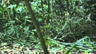 Fêmea Inhambu Chintã corre apos ser atraida no pio1.AVI