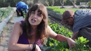 Video bitácoras - Como cosechar semilla de Acelga parte 1