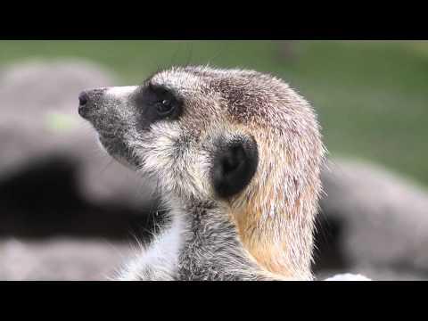 Meerkat posing, scanning for predators