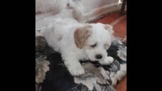 Maltese puppy - Bichon Puiuti