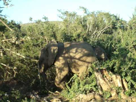 Elephants, elefantes – Garden Route – South Africa – May 2010