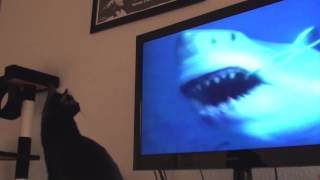 Black Cat Watching White Sharks on TV...