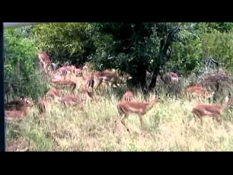 Travel – Mar 2010 – Impalas in Southern Africa – Carl W. Farley