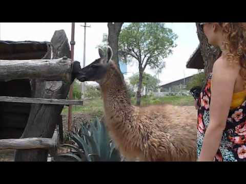 Talking to llamas at Middle Earth, Quito, Ecuador