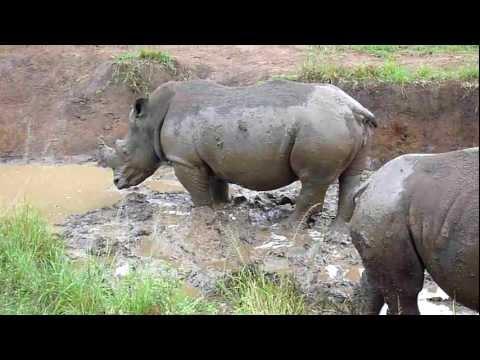Rhinos' morning mud bath at Hluhluwe Imfolozi Park, KwaZulu Natal
