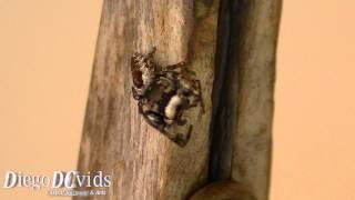 Phidippus Brazilian species (Salticidae) jumping spiders