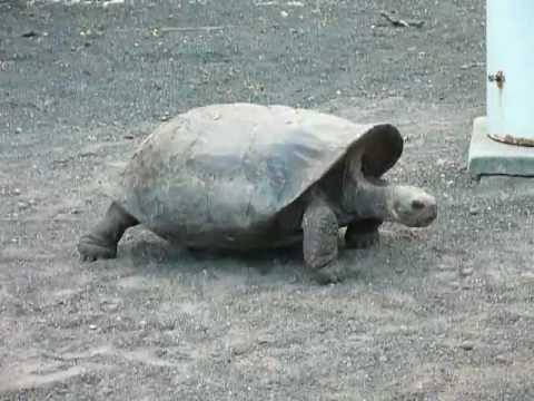 Giant Turtle from Galapagos (Isabela Island)