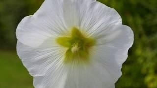 Стари градски песни - Бели ружи
