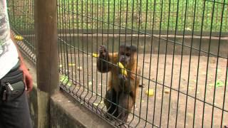 Macaco limpa escorregador de zoológico em Piracicaba