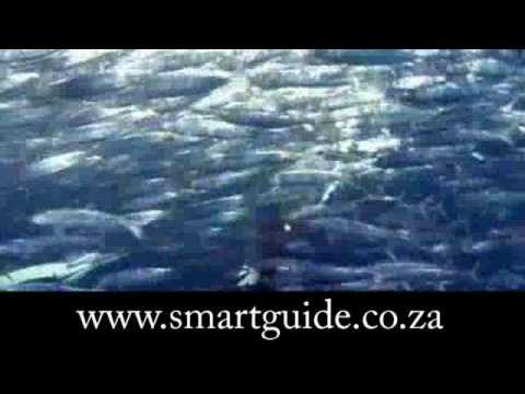 Sardine Run – KwaZulu Natal, South Africa