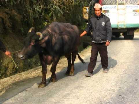 Buffalo Crossing In Nepal