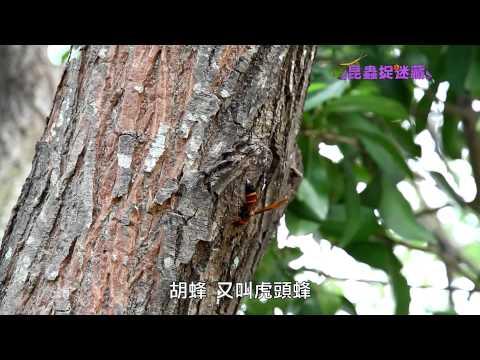 《昆蟲捉迷藏》完美的空間大師【社會性昆蟲:蜜蜂】 - YouTube