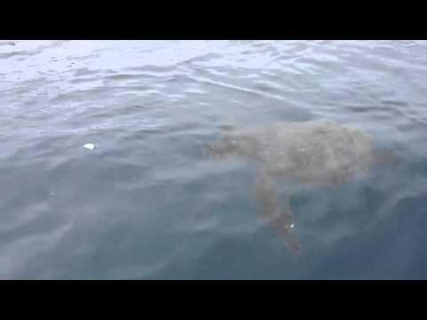Sea turtles at Isla de Plata