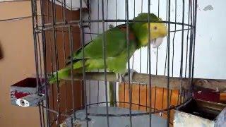 Parrot Rodrigo singing Mexican birthday song