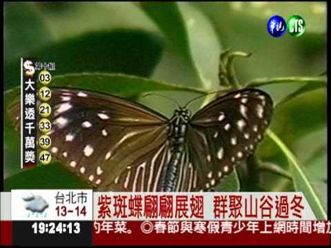 百萬隻紫斑蝶遷徙 國道讓路! - YouTube