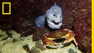 Meet the Intimidating Eel That Mates For Life | National Geographic width=
