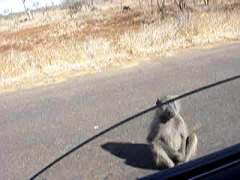 Baboons at Kruger