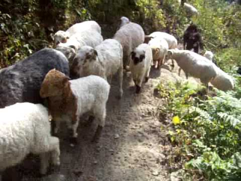 Sheep on trail, Nepal