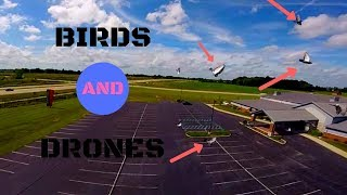 Chasing birds with a drone