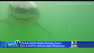 Great White Shark Chomps On Camera Near Monomoy
