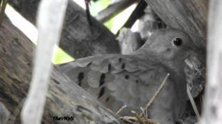 Juriti chocando- rolinha com dois filhotes(NINHOS)